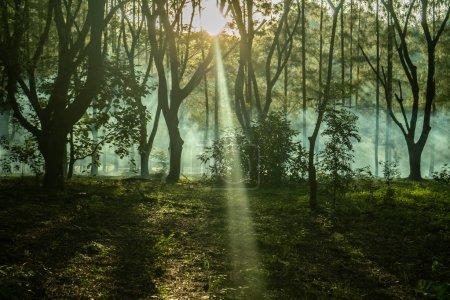 Photo pour Arbres forestiers boisés rétro-éclairés par la lumière du soleil avant le coucher du soleil avec des rayons de soleil se déversant à travers les arbres sur le sol de la forêt éclairant les branches des arbres - image libre de droit