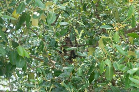 Photo pour Belle feuille crépusculaire Singe assis, sautant sur l'arbre. Faune en Thaïlande - image libre de droit