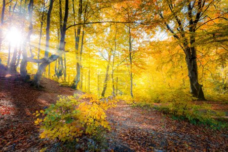 Photo for Sunshine in Golden Autumn forest  landscape and big trees with colorful leaves - Royalty Free Image