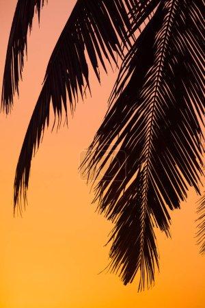 palm leaves goa sunset closeup
