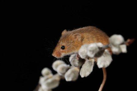 Photo pour Récolte la souris sur la branche des chats du saule - image libre de droit