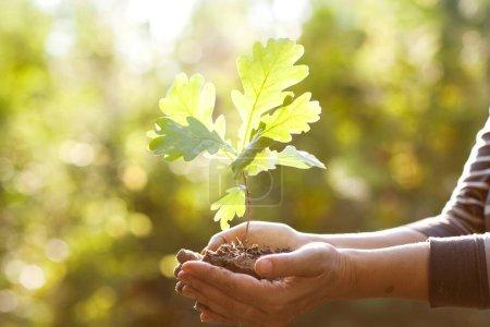Photo pour Environnement Jour de la Terre Entre les mains d'arbres poussant des semis de chêne. Bokeh vert Arrière-plan Femme tenant un arbre sur l'herbe du champ naturel Concept de conservation des forêts - image libre de droit