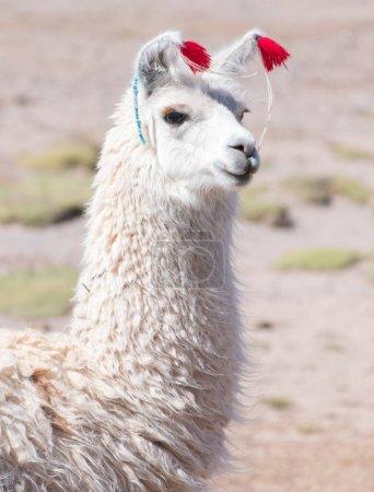 Foto de Llama blanca decorada (Lama glama) sobre fondo natural borroso. Bolivia - Imagen libre de derechos