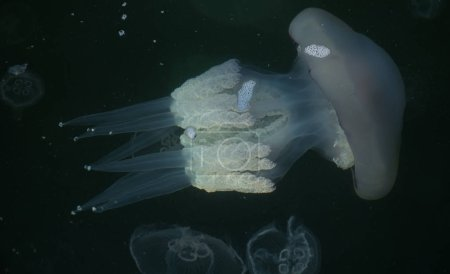 Congestion Millions of jellyfish floating