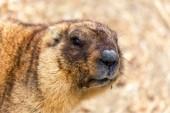 """Постер, картина, фотообои """"Альпийский сурок (Marmota Marmota) в вольер зоопарка. Главный герой красивая традиция - сурок предсказывает погоду в день сурка."""""""