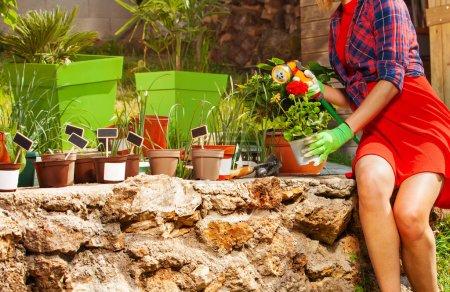 Photo pour Les mains de la femme tenant pot avec géranium rouge et arroseur tout en travaillant dans le jardin - image libre de droit