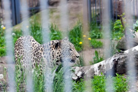 Photo for Close-up photograph of a leopard living in a zoo - Royalty Free Image