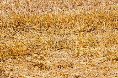 Photo pour Épines pointues et piquantes des tiges coupées de blé pendant la récolte des céréales. Champ agricole, prise de vue rapprochée. Journée ensoleillée, heure d'été de l'année. Petite profondeur de champ, mise au point au centre du cadre - image libre de droit