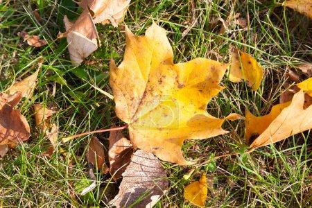 Photo pour Jauni et Les feuilles d'érable tombées sur le sol à l'automne, soleil éclairé. Photo en gros plan avec une petite profondeur de champ. - image libre de droit