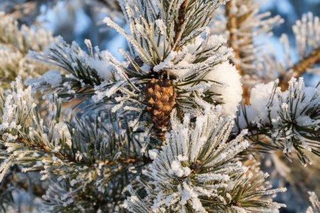 Photo pour Cône de pin poussant sur les branches. Les aiguilles sont recouvertes de glace blanche, gros plan - image libre de droit