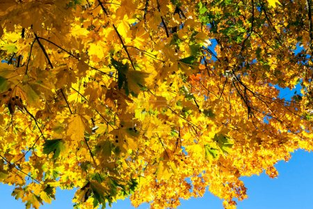 Photo for Yellowing leaves on maple trees in the fall season. Blue sky in the background. Photo taken closeup. - Royalty Free Image