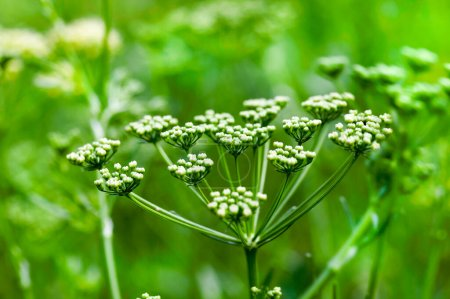 Photo for Green dill umbrella during flowering. Photo spring close-up. Small depth of field - Royalty Free Image