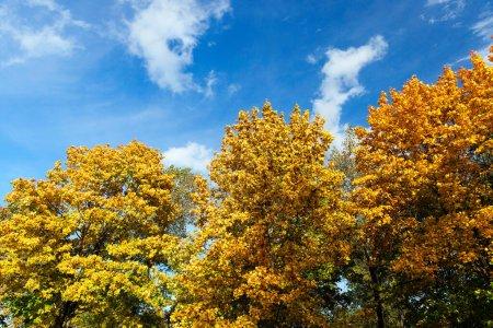 Photo pour Jaunissement des feuilles sur les érables à l'automne. Ciel bleu en arrière-plan. Photo prise en gros plan. - image libre de droit