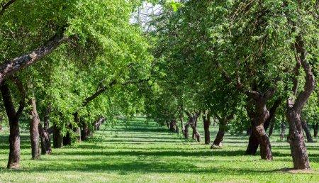 Photo pour Paysage estival avec des arbres couverts de feuillage vert et des rangées en croissance. - image libre de droit