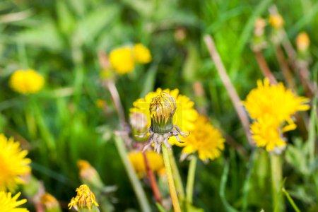 Photo pour Un pissenlit fleuri, dont la fleur jaune est fermée pendant la froide matinée de la journée. Photo en gros plan au printemps - image libre de droit