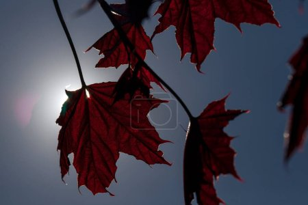 Photo pour Photographie d'une feuille d'érable rouge au printemps. Le feuillage est éclairé par un soleil printanier lumineux. En arrière-plan un ciel bleu foncé. Petite profondeur de champ - image libre de droit
