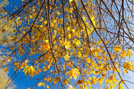 Photo for Yellow maple leaves growing on the top of the tree. Photographed against a blue sky background. Close-up. - Royalty Free Image