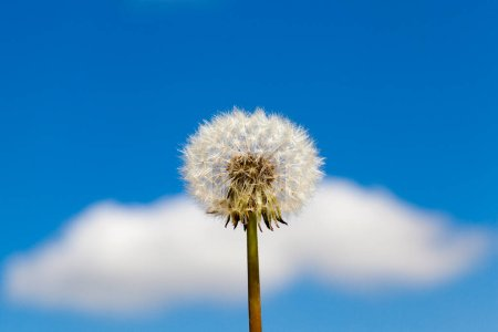 Photo pour Boule de fleurs de pissenlit blanc en été. Contre un ciel bleu, photo rapprochée. Petite profondeur de champ - image libre de droit