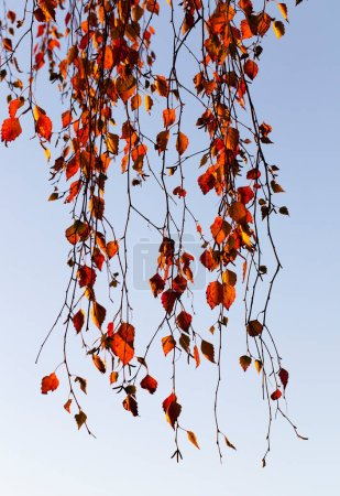 Photo for Orange foliage during leaf fall. Against the blue sky. Photo taken close-up in the autumn season - Royalty Free Image