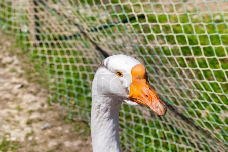Photo for White goose living in the zoo, photographed close-up. The bird lives in a metal cage - Royalty Free Image