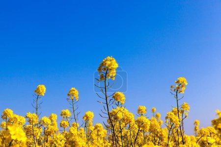 Photo pour Parcelle de terrain agricole avec jaune couleurs vives de viol, photographié gros plan. Petite profondeur de champ. - image libre de droit