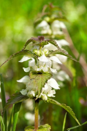 Photo for Green nettle during flowering with white inflorescences. Photo close-up with a shallow depth of field - Royalty Free Image