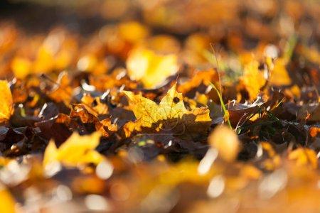 Photo pour Feuillage d'automne jaune tombé. Une forêt où poussent les érables, une faible profondeur de champ - image libre de droit