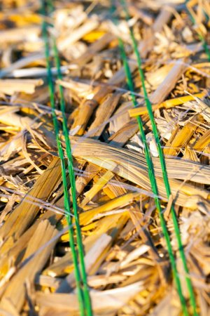 Photo for Part of a stack of golden straw, photographed close-up on a farm field. A shallow depth of field in the center of the frame - Royalty Free Image