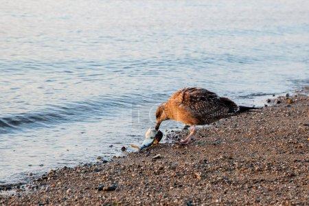 Mouette avec poisson ext eau sur la plage avec lumière du matin