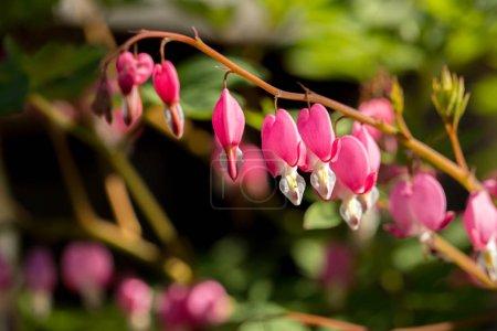 Foto de Floración primavera de Dicentra en el jardín, primer plano - Imagen libre de derechos