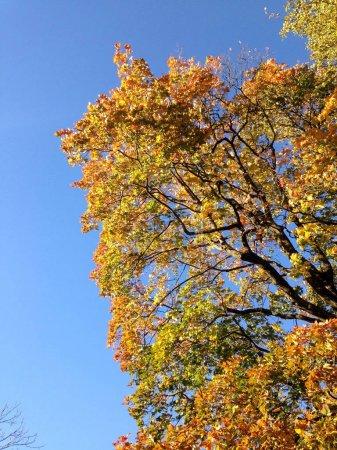 Photo pour Couronne d'arbre d'automne dans les couleurs jaunes, rouges et vertes contre un ciel bleu lumineux. Vue du bas - image libre de droit