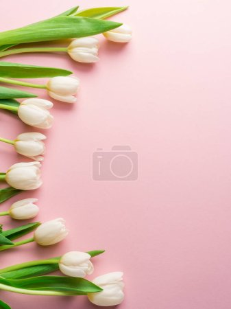 White tender tulips on lightpink background.  Top view.