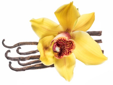 Dried vanilla fruits and orchid vanilla flower iso...