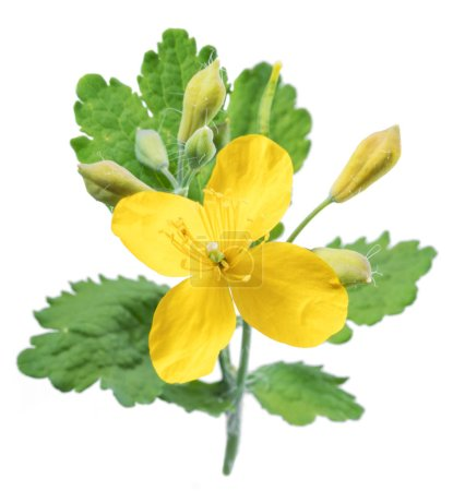 Greater celandine. Yellow flower with green leaves...