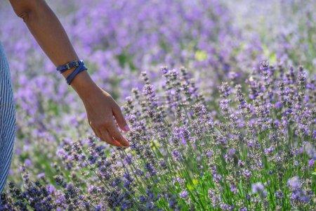 Photo pour Femme marchant dans le champ de lavande en fleurs . - image libre de droit