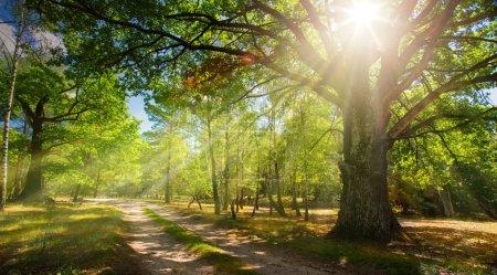 Foto de Camino del bosque y viejo bosque de robles con los rayos de la su - Imagen libre de derechos