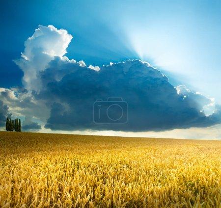 Foto de Hermoso campo de cereales en la naturaleza en el amanecer, paisaje panorámico; Espigas de trigo dorado - Imagen libre de derechos