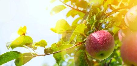 Foto de Rama de manzano con manzana roja - Imagen libre de derechos