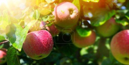 Foto de Rama de manzano con manzana roja orgánica sobre fondo verde borroso del jardín natural. - Imagen libre de derechos