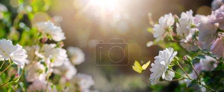 Foto de Fondo floral de verano, flores de rosa blanca y mariposa mosca; Hermoso paisaje rural - Imagen libre de derechos