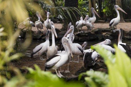 Photo pour Vue sur les pélicans australiens dans le parc d'oiseaux de Bali - image libre de droit