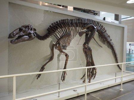 BELFAST, UK - CIRCA JUNE 2018: Skeleton of Edmontosaurus annectens, erbivore non avian dinosaur, at Ulster Museum
