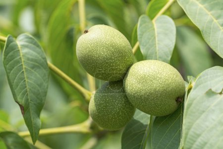 Green walnut fruits on blurred background, close-up