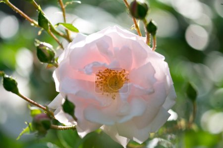 Light colored rose on blurred background, close-up