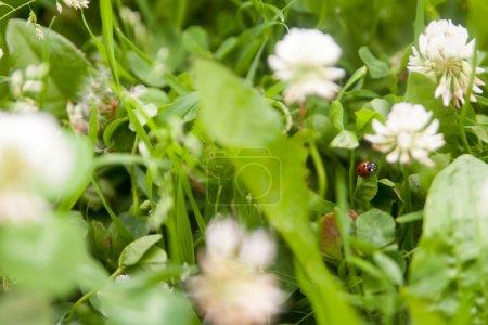 Foto de Fondo floral de verano, enfoque suave. Trébol floreciente. Fondo borroso. Mariquita. - Imagen libre de derechos