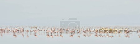 Colony of Flamingos on the Natron lake in the Rift Valley in Tanzania Africa. Scientific name: Phoenicoparrus minor.
