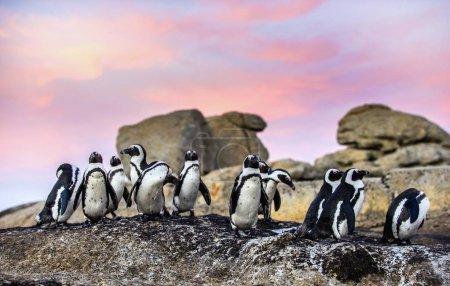 Photo pour Pingouins africains sur le rocher au coucher du soleil. Colonie de rochers. Afrique du Sud . - image libre de droit