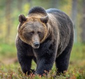 Brown bear in the autumn forest. Scientific name: Ursus arctos. Natural habitat.