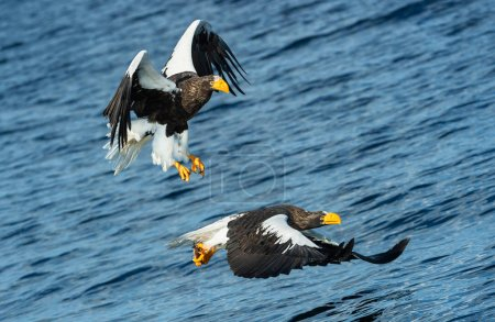 Photo pour Adult Steller's sea eagles fishing. Scientific name: Haliaeetus pelagicus. Blue ocean background. Natural Habitat. - image libre de droit