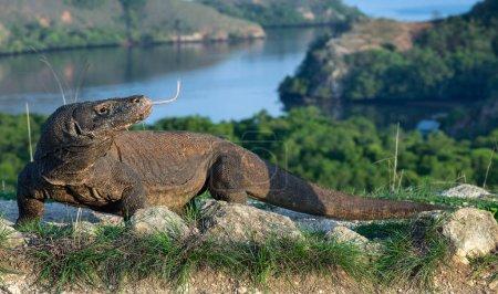 Photo for Portrait of the Komodo dragon. The Komodo dragon,  scientific name: Varanus komodoensis. Indonesia. - Royalty Free Image